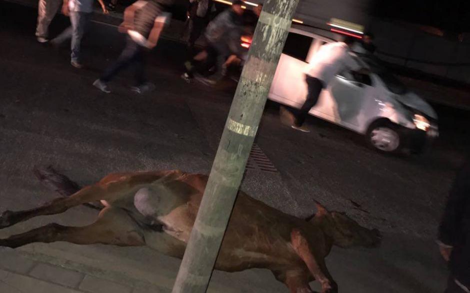 El caballo murió al chocar contra el vehículo frente al centro comercial Flores del Lago en Amatitlán. (Foto: Pampichi News)