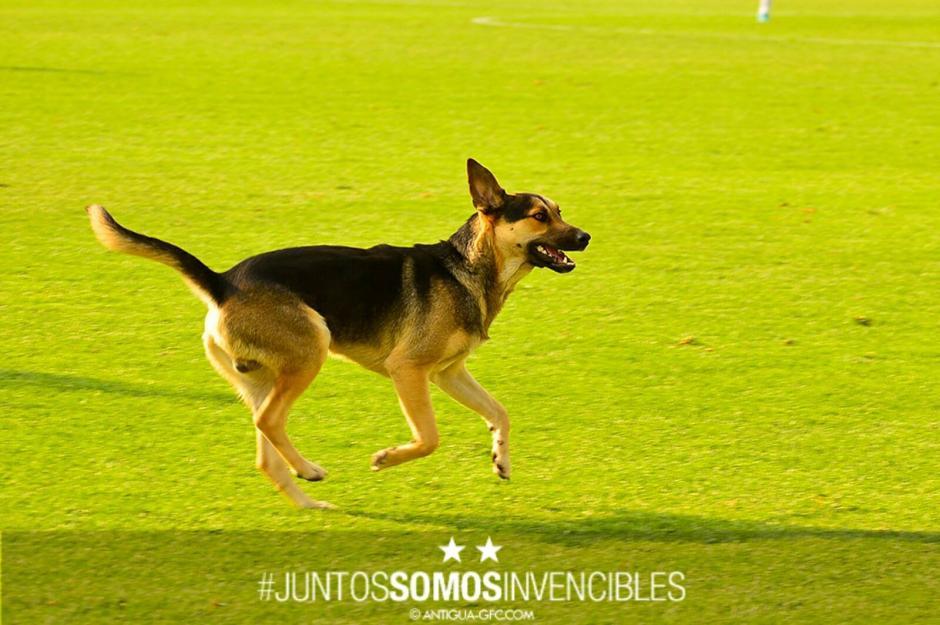 El canino corrió por todo el campo antes de dirigirse al graderío. (Foto: Antigua GFC)