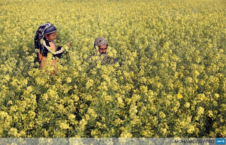Un hombre palestino y su hija caminan entre los campos de flores de mostaza en la Franja de Gaza. (Foto: AFP)