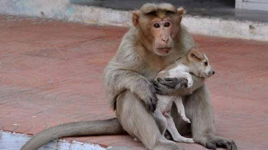 El primate adoptó al pequeño perro como su mascota. (Foto: infobae)