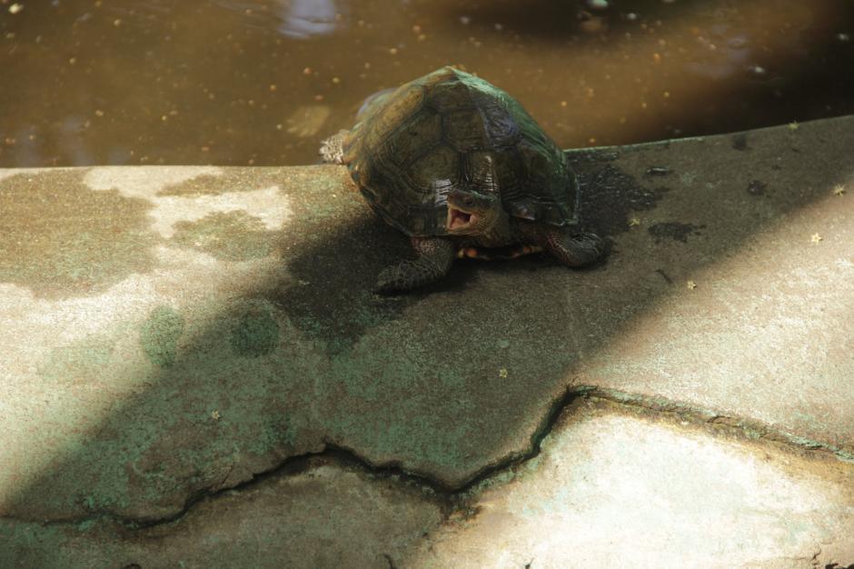 Varias tortugas son criadas en el recinto para fines científicos. (Foto: Fredy Hernández/Soy502)
