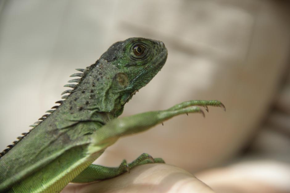 También tiene un criadero de iguanas que son liberadas en los árboles.  (Foto: Fredy Hernández/Soy502)