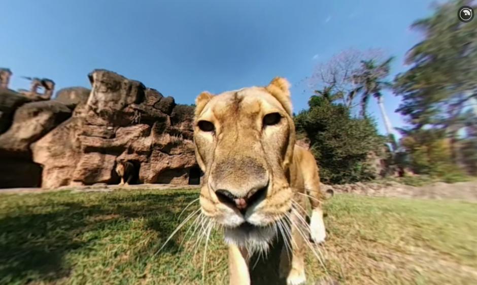 El Zoológico La Aurora publicó el video de una cámara 360 que captó el recinto de leones. (Foto: Captura de pantalla)