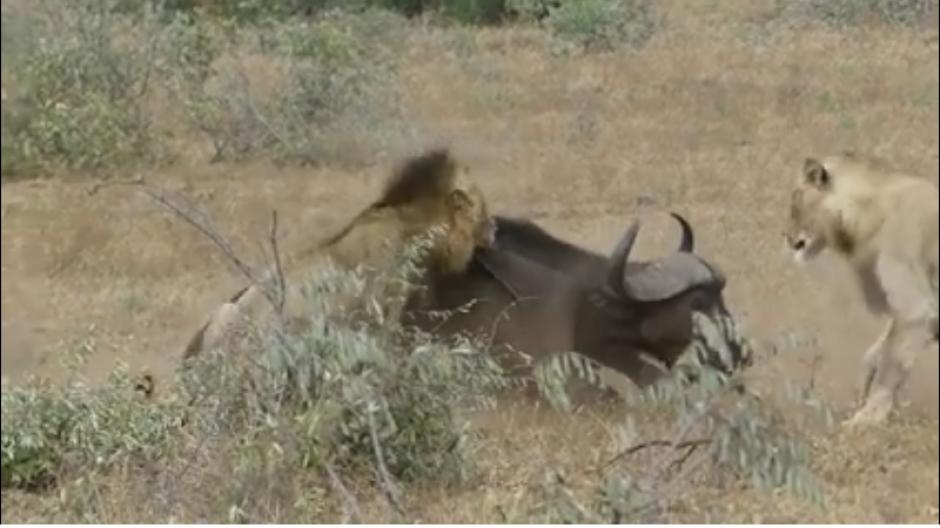 El búfalo es sorprendido por uno de los leones y su final parece estar cerca. (Foto: captura Facebook)