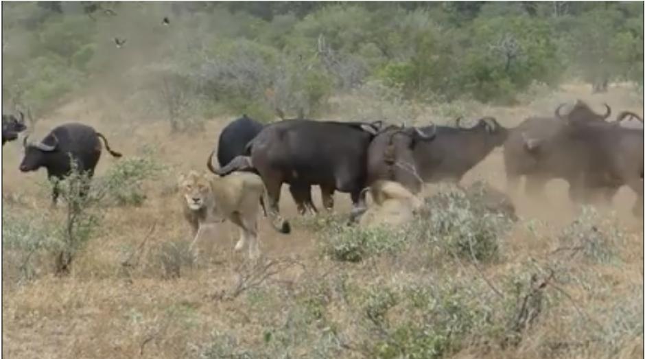 De pronto una manada de búfalos aparece para salvar a uno de los suyos. (Foto: captura Facebook)