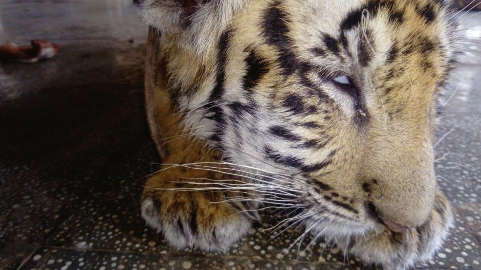 El Conap investigará el porqué de la aparición de los tigres en esa localidad. (Foto: Conap)