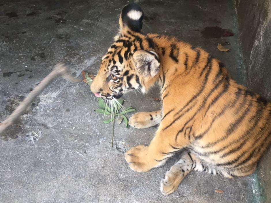 El felino se ha recuperado satisfactoriamente en los últimos días. (Foto: Zoológico La Aurora)