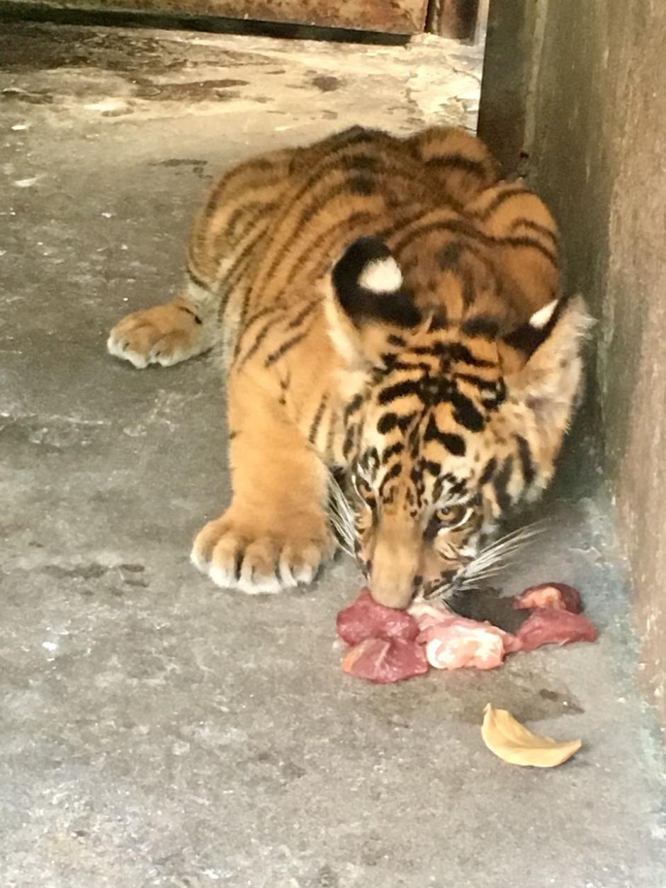 El tigre está en un área de cuarentena para observar su comportamiento. (Foto: Zoológico La Aurora)