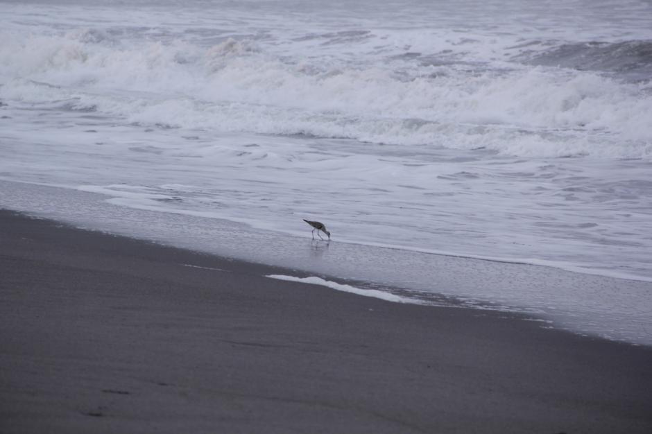Una ave busca alimento a las orillas de la playa. (Foto: Fredy Hernández/Soy502)