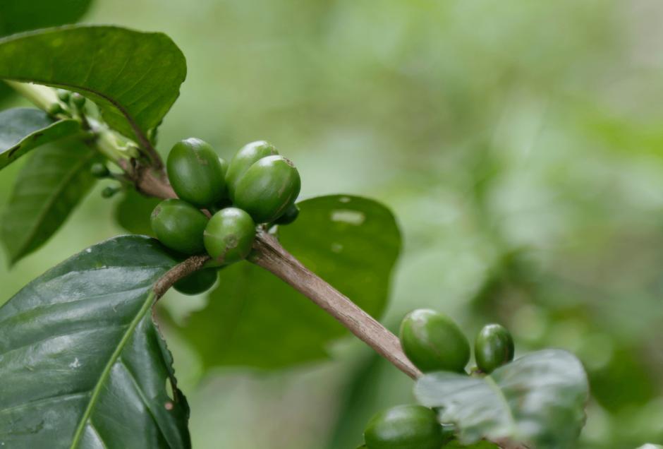 La cooperativa espera exportar su café. (Foto: Alejandro Balán/Soy502)