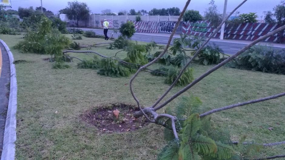 Los árboles se encuentran en el arriate central al salir del aeropuerto La Aurora. (Foto: Municipalidad de Guatemala)
