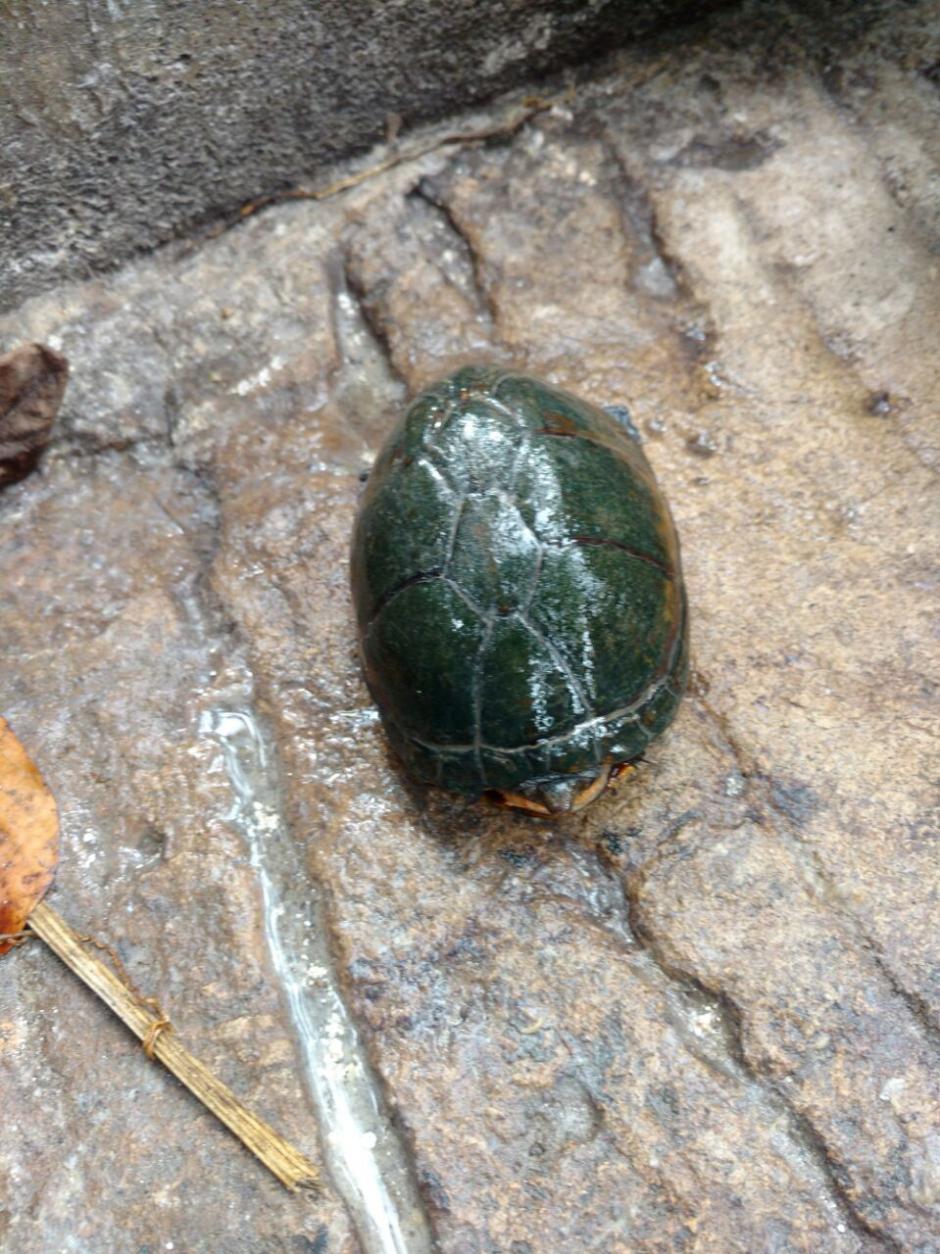 Los agentes de la PNC encontraron una tortuga casquito.  (Foto: PNC)