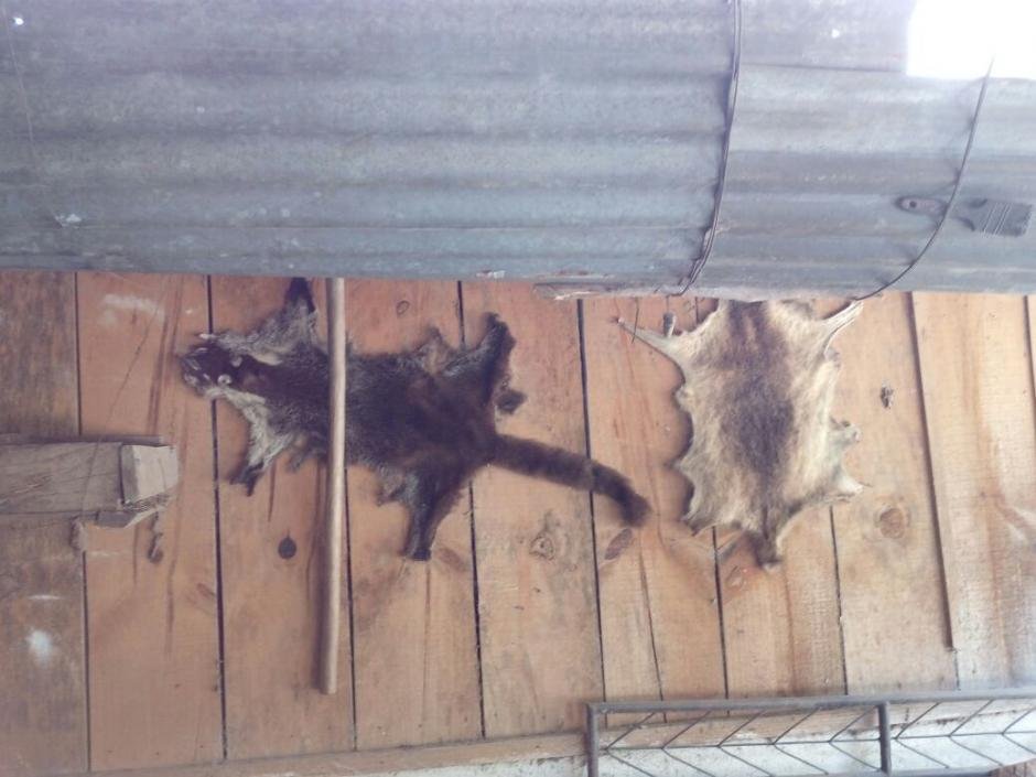 En la vivienda también se encontraron varias pieles, entre ellas de pizote, mapache y pájaro carpintero.  (Foto: PNC)