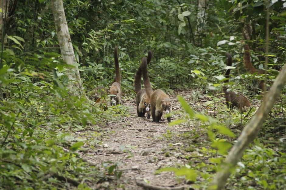 Una manada de pizotes se atraviesa en el camino a la vista de las personas. (Foto: Fredy Hernández/Soy502)
