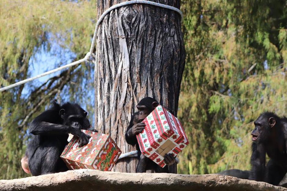 Los animales recibieron su dieta normal envuelta en cajas de regalo. (Foto:  Zoológico La Aurora)