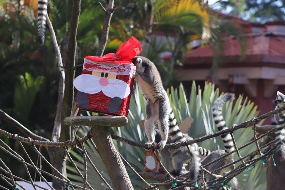 Los lémures recibieron sus reglaos de navidad en el Zoológico La Aurora. (Foto:  Zoológico La Aurora)