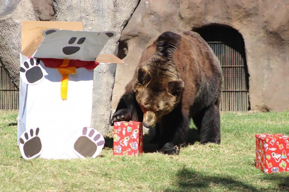 El oso pardo disfrutó una buena ración de miel. (Foto:  Zoológico La Aurora)