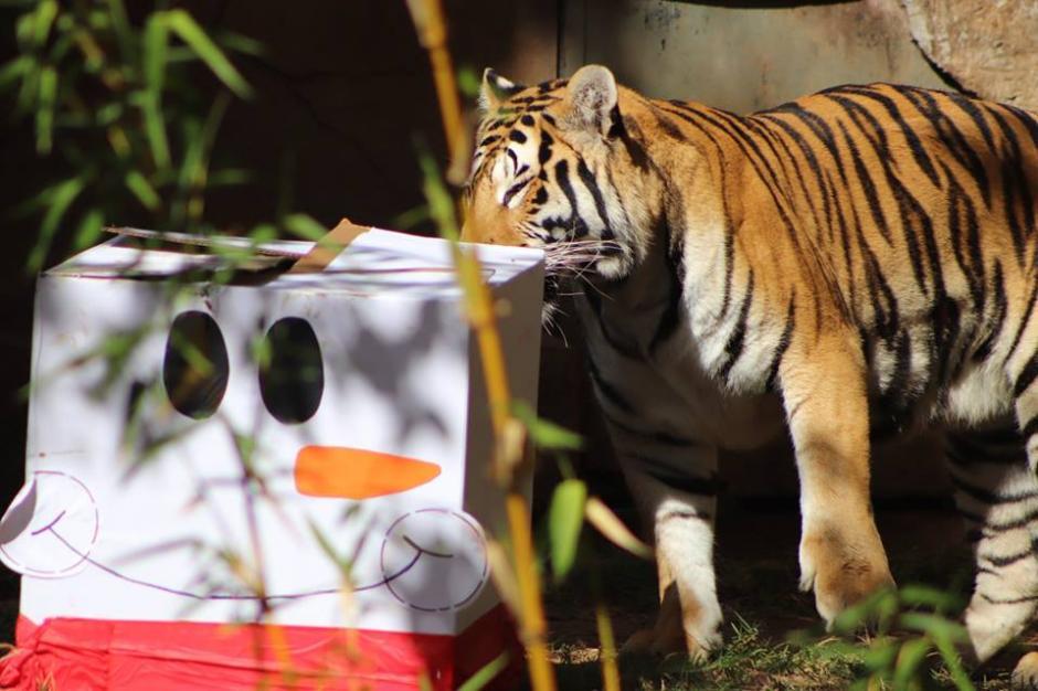Los tigres gozaron de una dieta basada en carne. (Foto:  Zoológico La Aurora)