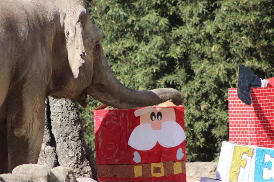 Trompita recibió manías, además de la dieta consistente en bananos, manzanas y lechugas entre otras. (Foto:  Zoológico La Aurora)