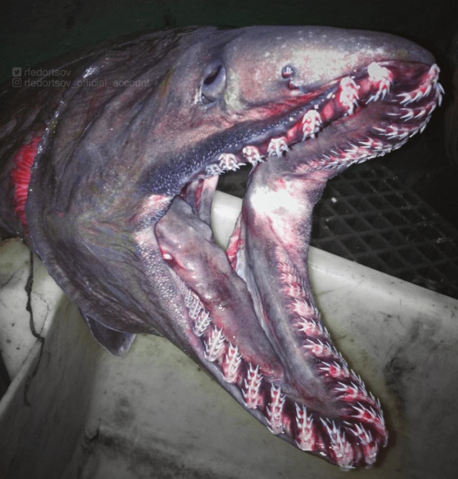 Fedortsov ha encontrado algunos de estos animales con la ayuda de submarinos . (Foto: @rfedortsov/Twitter)