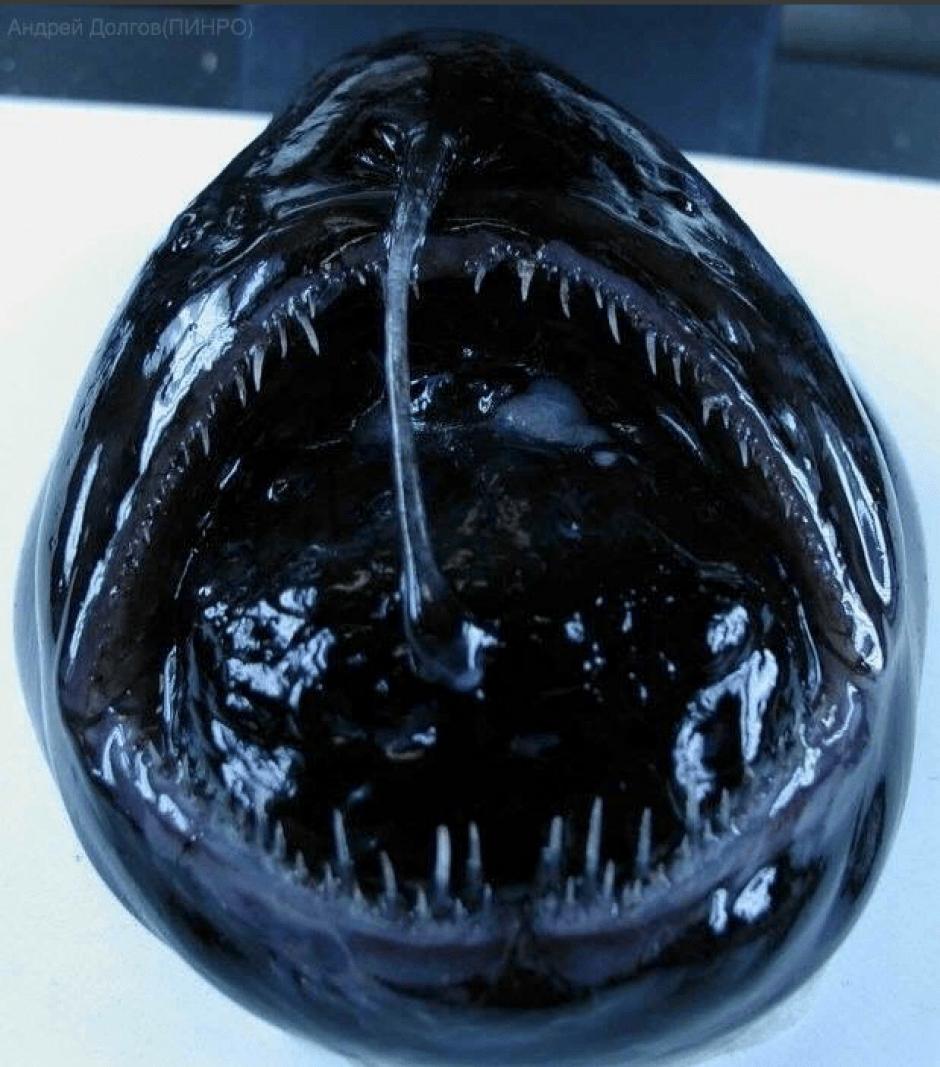 Algunos peces son negros por la poca luz que llega hasta su hábitat . (Foto: @rfedortsov/Twitter)