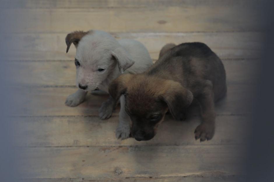 Los cachorros esperan una nueva familia. (Foto: Alejandro Balan/Soy502)