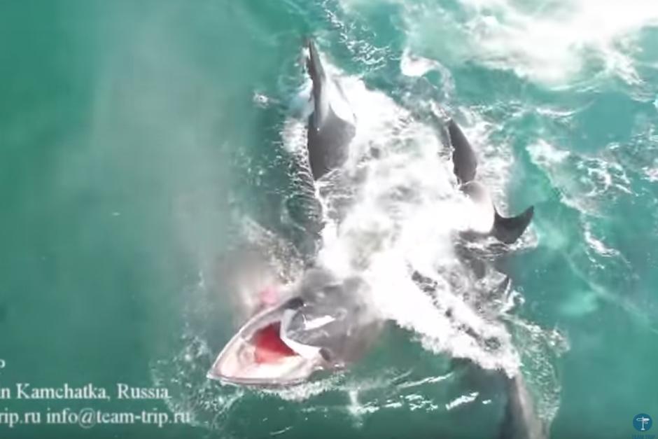 Orcas cazan y matan ballena en Rusia