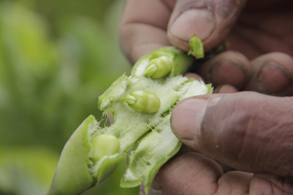 El haba es otro de los cultivos que crecen en la Piedra Fina. (Foto: Fredy Hernández/Soy502)