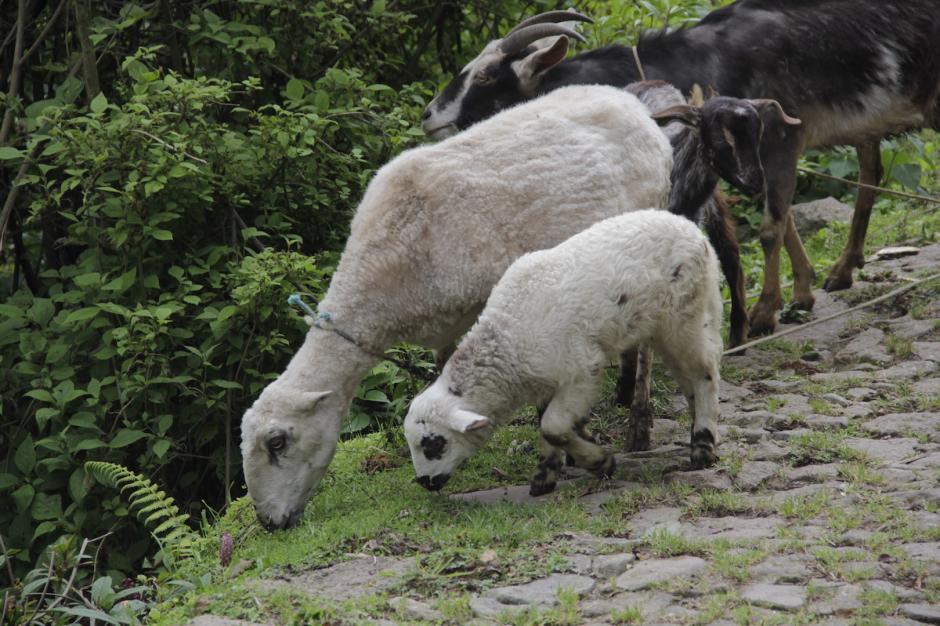 Los agricultores crían corderos para vender o para consumir. (Foto: Fredy Hernández/Soy502)