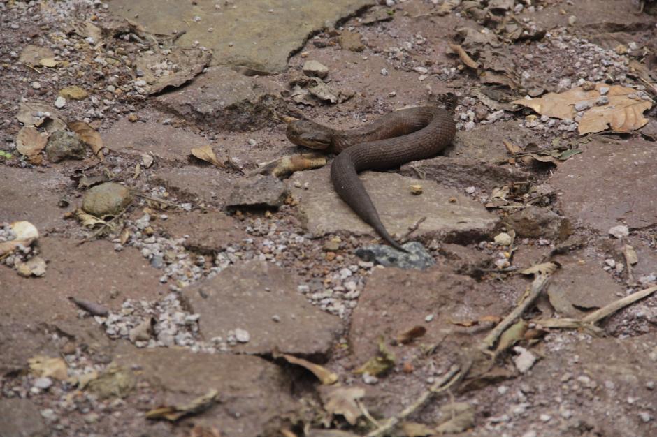 Una serpiente cantil aparece en el camino y se confunde con el color del terreno. (Foto: Fredy Hernández/Soy502)