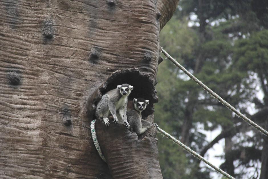 Los tour VIP en el zoológico La Aurora te permiten conocer más de cerca a algunas especies. (Foto: Archivo/Soy502)