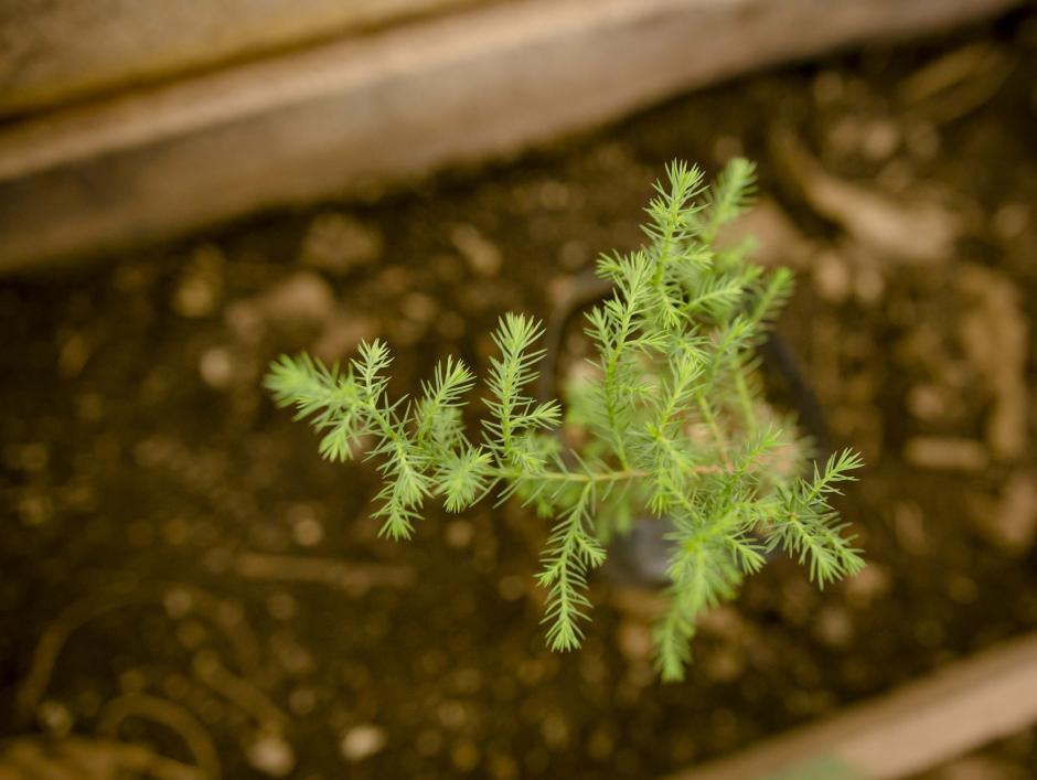 Así luce un ciprés a las dos semanas de haber sido sembrado. (Foto: George Rojas/Soy502)