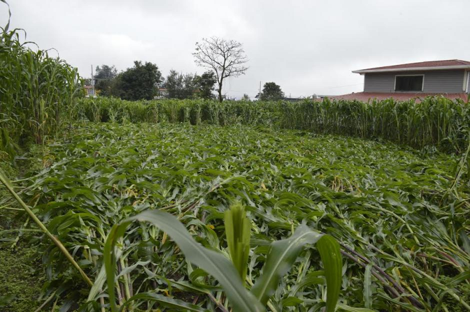 Las plantas no fueron cortadas, sino solo aplastadas. (Foto: Hugo Barrios/Soy502)