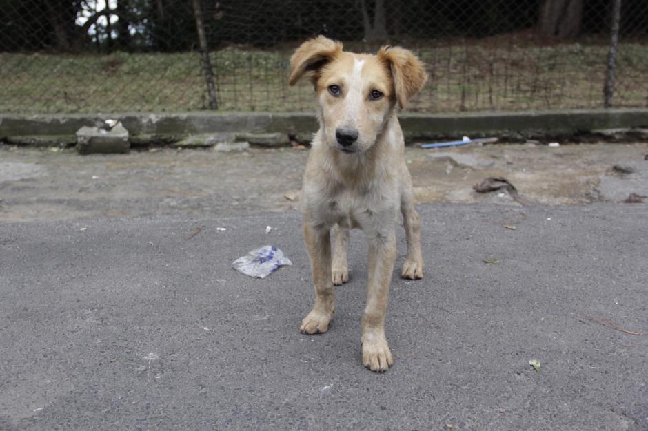 Este perrito fue adoptado por la comuna mixqueña. (Foto: Fredy Hernández/Soy502)