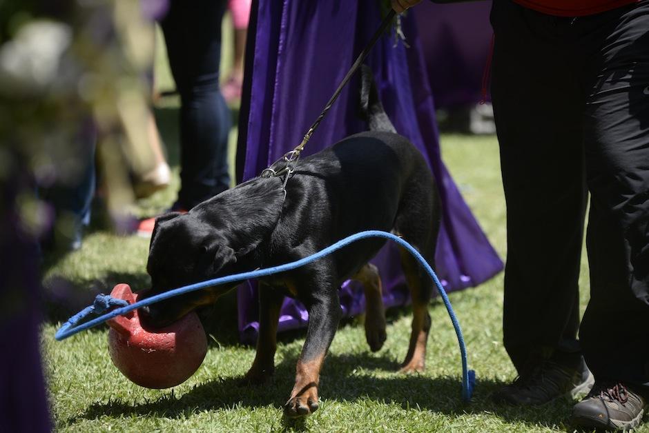 Los perritos son muy consentidos y juguetones y se divierten previo a entrar en escena. (Foto: Wilder López/Soy502)