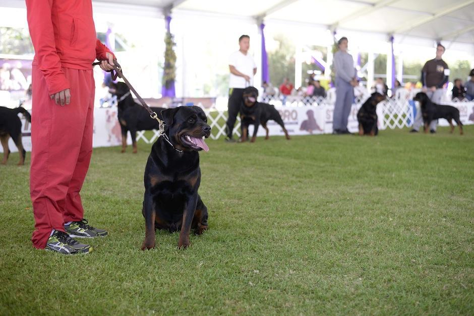 La exhibición de Rottweiler fue una de las más aclamadas el primer día del show. (Foto: Wilder López/Soy502)