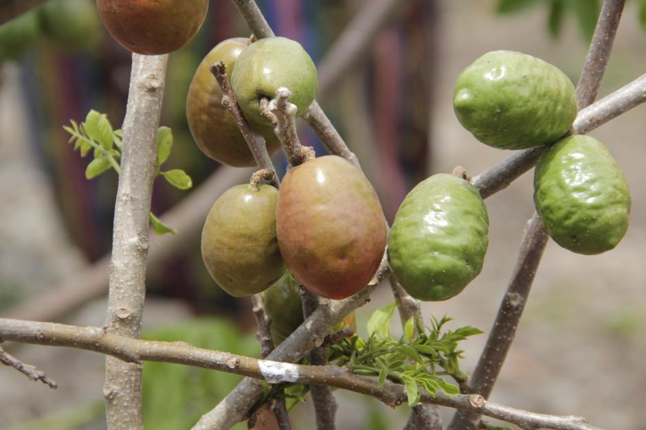 Este fruto crece en los árboles sembrados en un terreno rocoso. (Foto: Fredy Hernández/Soy502)