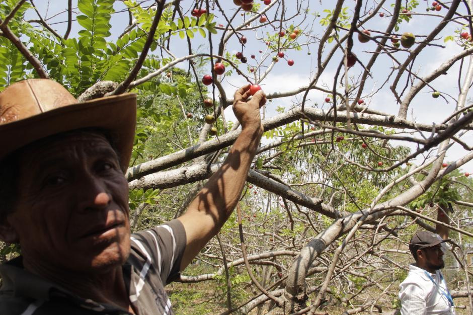 El jocote es uno de los productos que ofrecen al mercado nacional. (Foto: Fredy Hernández/Soy502)
