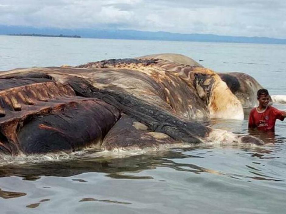 La enorme criatura estaba encallada cerca de una playa en Indonesia. (Foto: Abhy Hafik/Facebook)