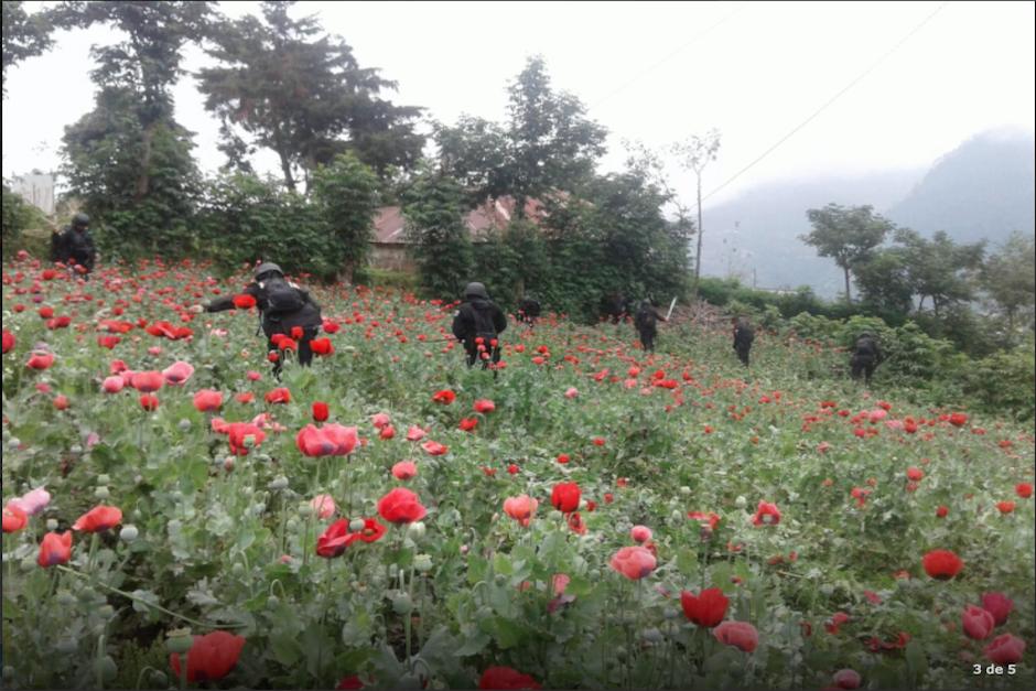 De la amapola se saca el opio, la principal materia prima para elaborar heroína. (Foto: PNC)