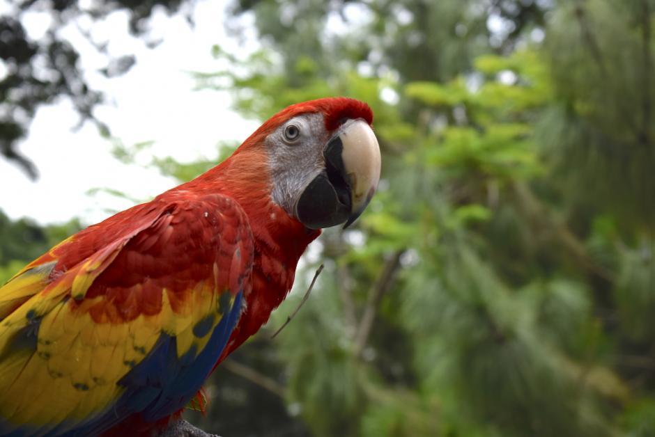 Varias guacamayas rojas fallecieron durante los incendios en Petén. (Foto: Adriana Ligorría/Soy502)