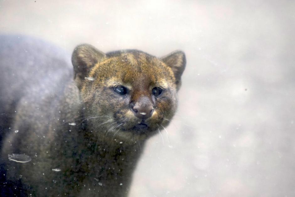 Jaguarundi es confundido por gato y es vendido como mascota. (Foto: Adriana Ligorría/Soy502)