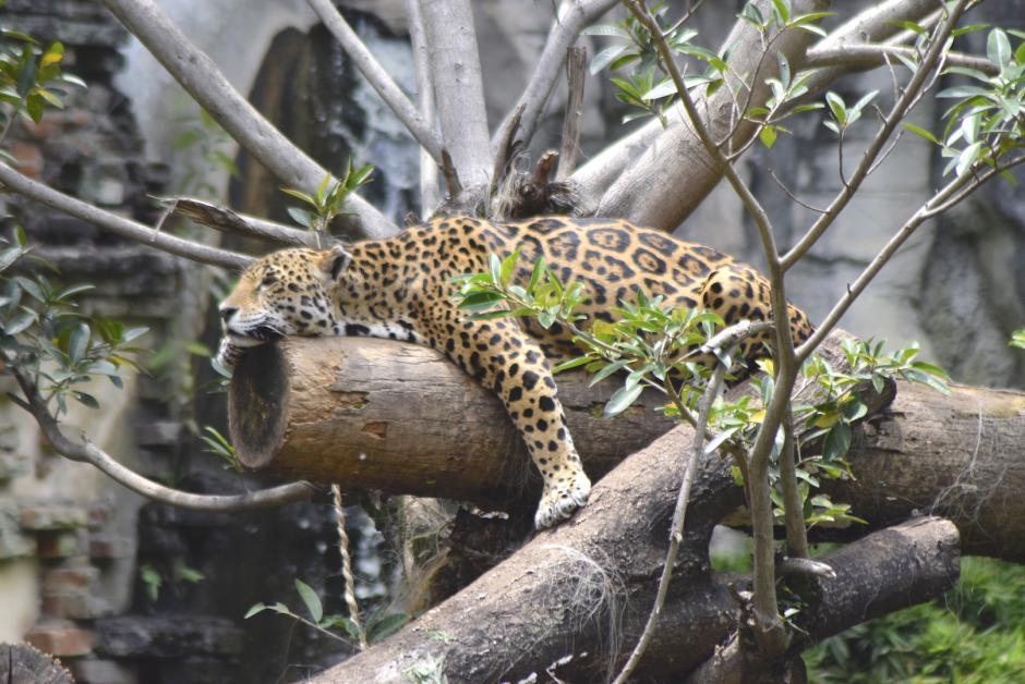 El jaguar es una de las especies codiciadas por los traficantes de animales. (Foto: Adriana Ligorría/Soy502)