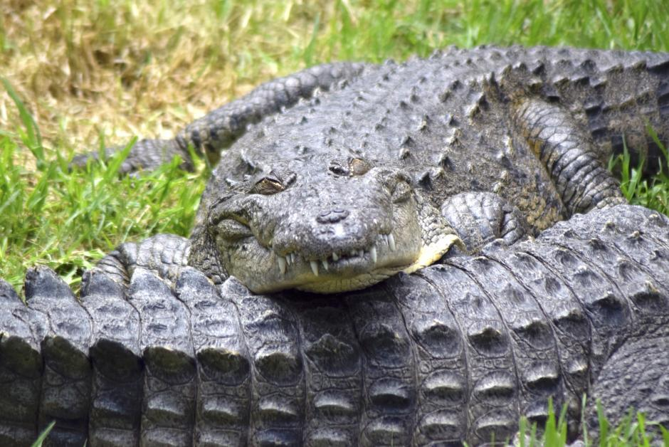 Los cocodrilos se ven amenazados por el uso de su exótica piel. (Foto: Adriana Ligorría/Soy502)