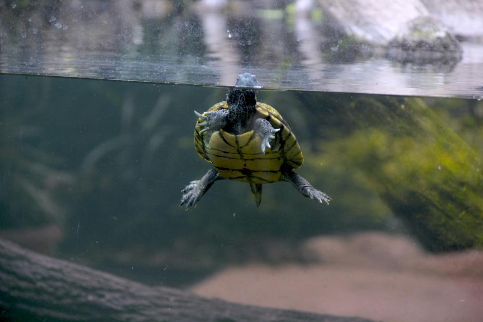 Las tortugas son amenazadas por la recolección de sus huevos principalmente en las playas de la Costa Sur. (Foto: Fredy Hernández/Soy502)