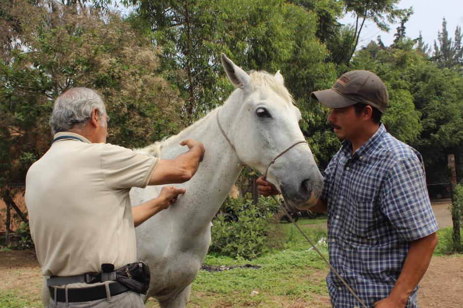 Los expertos recomendaron no utilizar al equino por dos semanas para que se recupere. (Foto: ESAP)