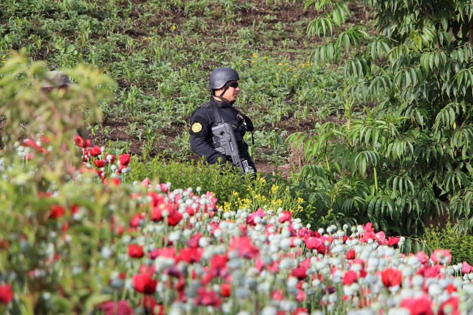 Hasta el momento han sido erradicadas plantaciones de marihuana valoradas en Q293 millones. (Foto: PNC)