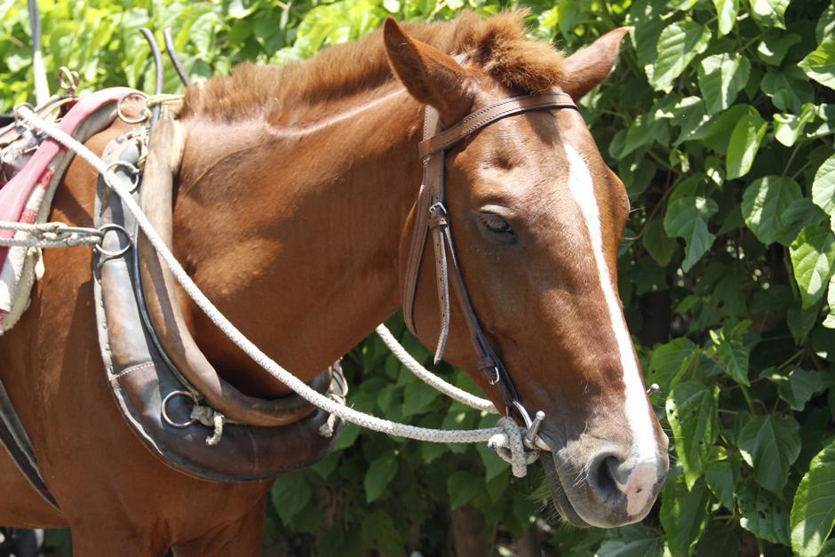 Según los propietarios, los equinos son cuidados adecuadamente. (Foto: Manuela Trillos/Soy502)