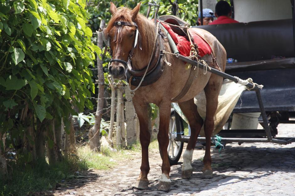 Los caballos son llevados a una calle para descansar mientras esperan su turno. (Foto: Manuela Trillos/Soy502)