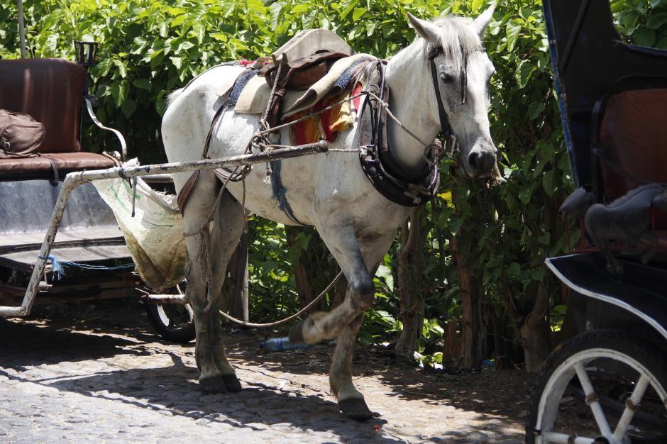 La situación de los caballos se ha visto complicada por los incidentes de los últimos días. (Foto: Manuela Trillos/Soy502)